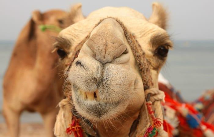 leering camel