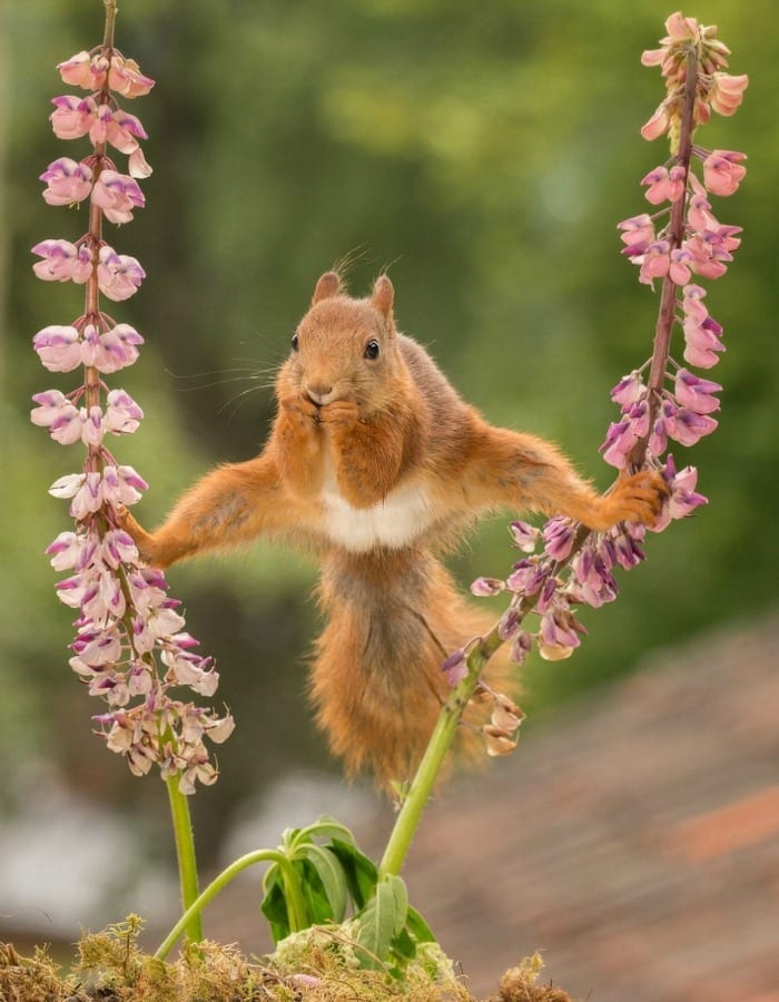 this squirrel doing the splits between two flowers