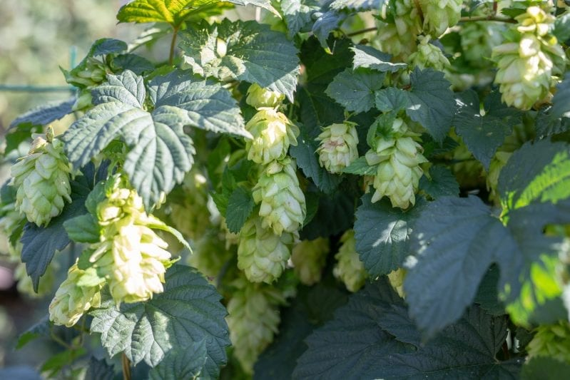 A great way to craft an amazing beer is to start the process yourself from scratch. You can grow your own beer garden at home to enhance the flavor of your home brewed beer. #beer #homebrewing #beergarden