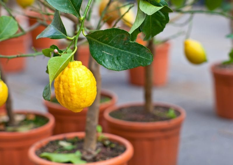 If you learn how to grow citrus on your patio, you will not only have fruit, but some awesome smells. When it comes to beautiful and unique plants to grow on your patio you can't get more creative than growing citrus. #citrusplants #gardening #howtogrowcitrus #patiogarden #balconygardening